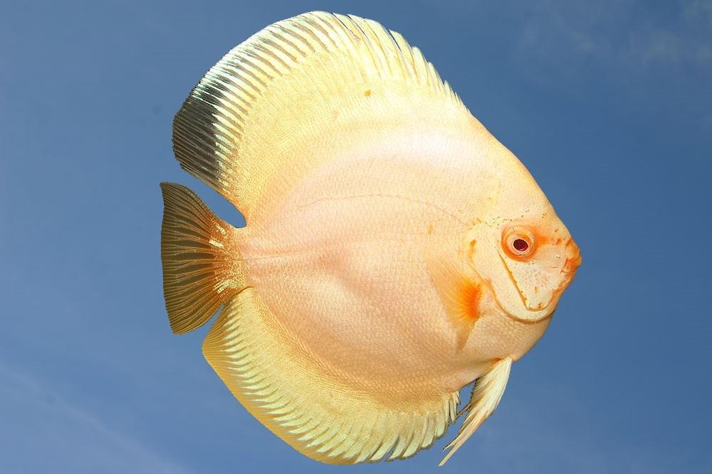 Ribe za akvarij - Diskus gojilnica, Škofja Loka gallery photo no.7