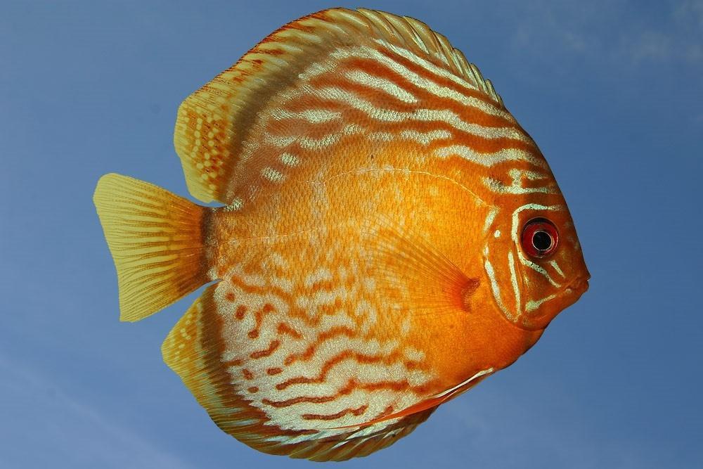 Ribe za akvarij - Diskus gojilnica, Škofja Loka gallery photo no.0