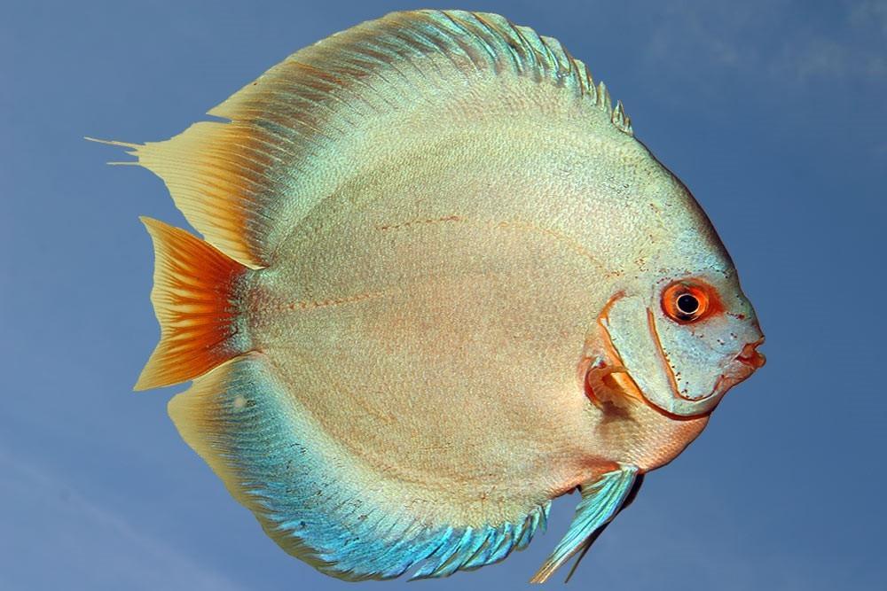 Ribe za akvarij - Diskus gojilnica, Škofja Loka gallery photo no.6