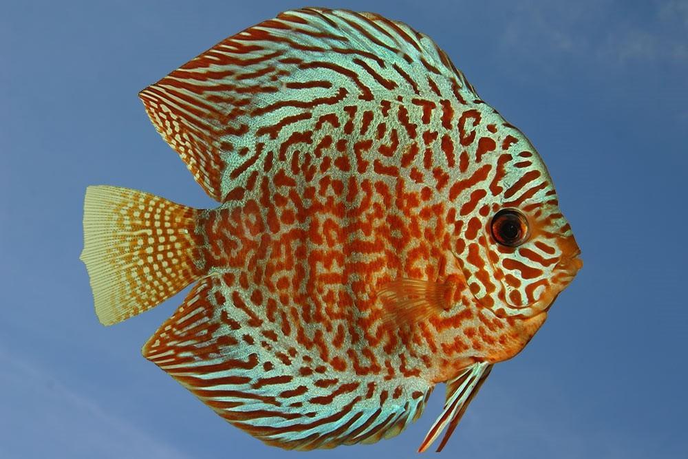 Ribe za akvarij - Diskus gojilnica, Škofja Loka gallery photo no.5