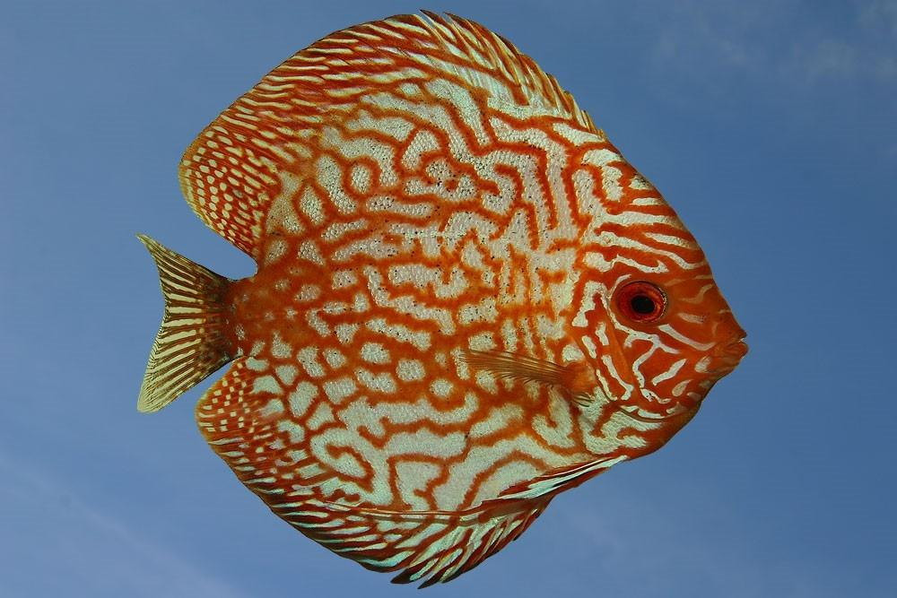 Ribe za akvarij - Diskus gojilnica, Škofja Loka gallery photo no.4