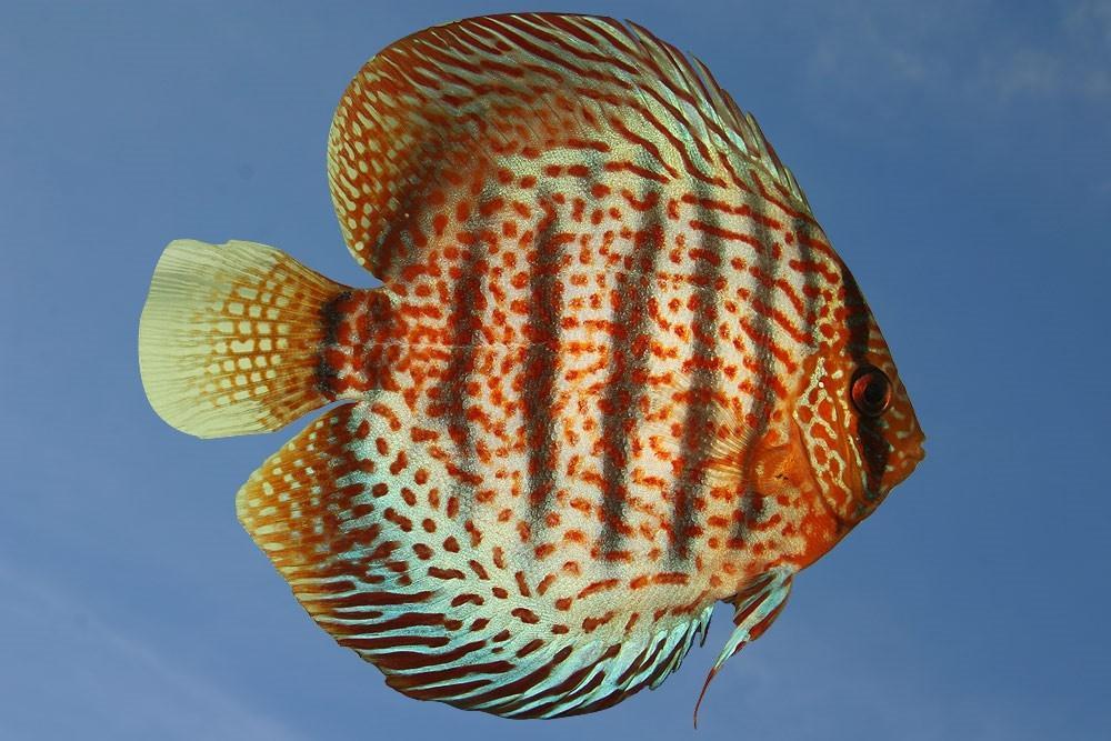 Ribe za akvarij - Diskus gojilnica, Škofja Loka gallery photo no.2