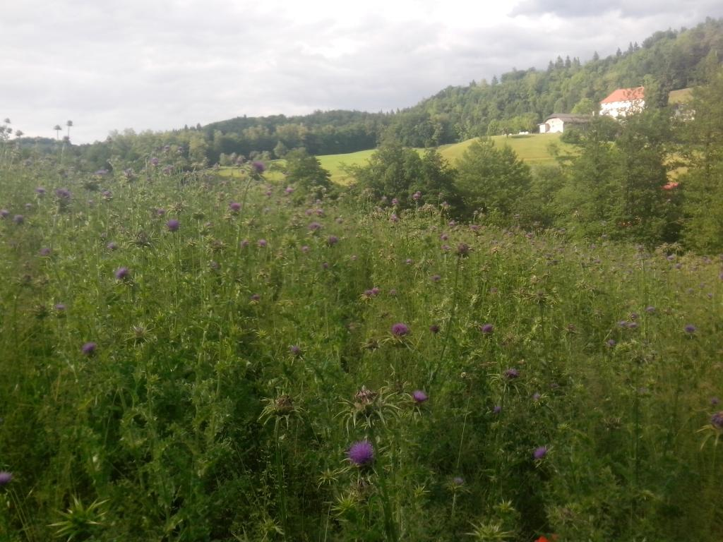 Pridelava pegastega badlja - Ekološka kmetija Pravne, Mirna na Dolenjskem gallery photo no.2