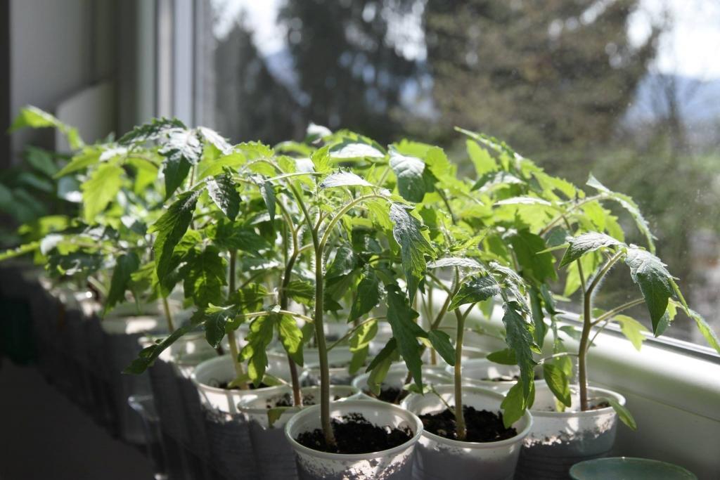 Superthrive, Agrogel, bio gnojila, svetila za rastlinjake, oprema za vzgojo rastlin - Budseason, Green Planet Nutrients, Green Planet gnojila gallery photo no.19