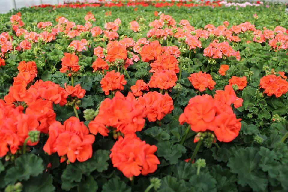 Vzgoja in pridelovanje sadik in vrtnin - Vrtnarija Artičoka, Cerklje na Gorenjskem gallery photo no.4