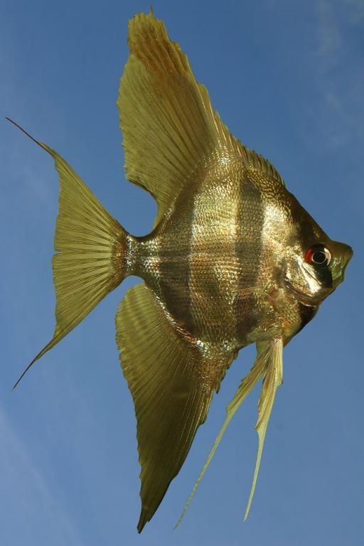 Ribe za akvarij - Diskus gojilnica, Škofja Loka gallery photo no.8