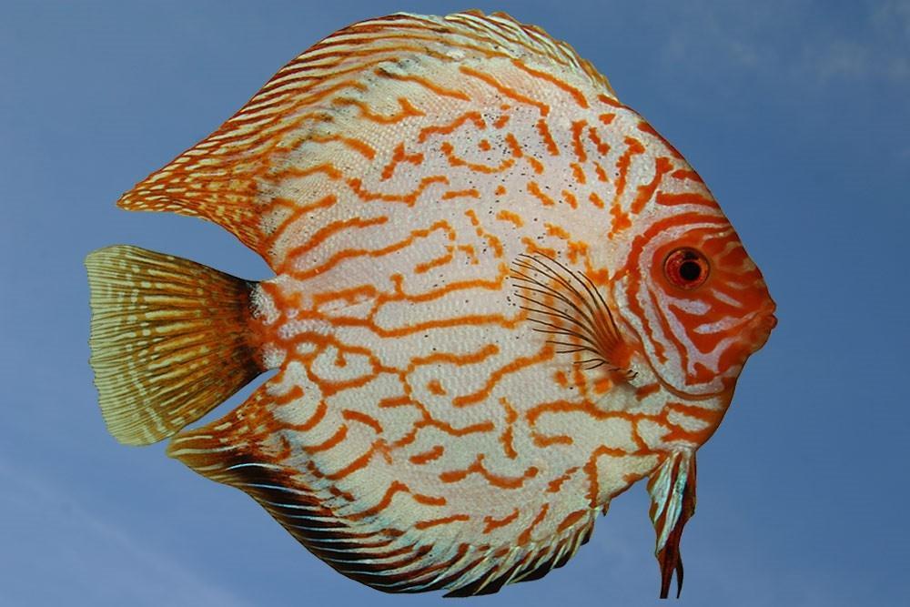 Ribe za akvarij - Diskus gojilnica, Škofja Loka gallery photo no.1