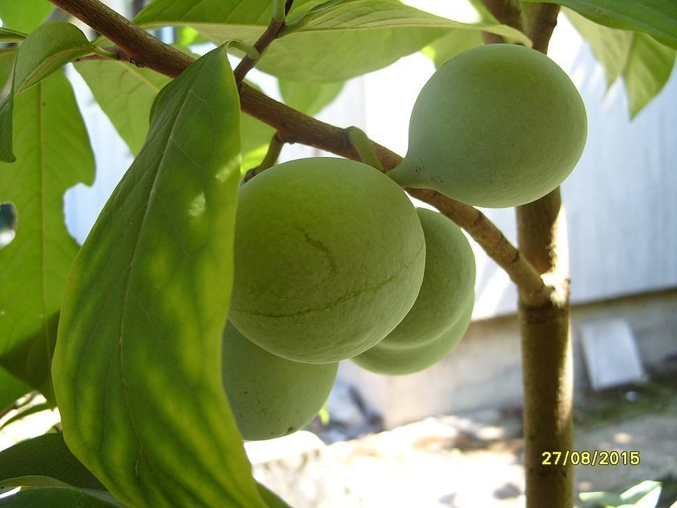 Asimina - indijanska banana gallery photo no.2