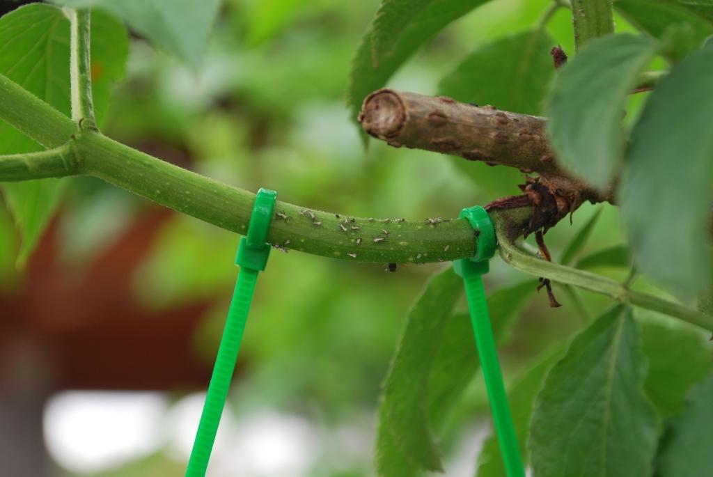 Asimina - indijanska banana gallery photo no.12