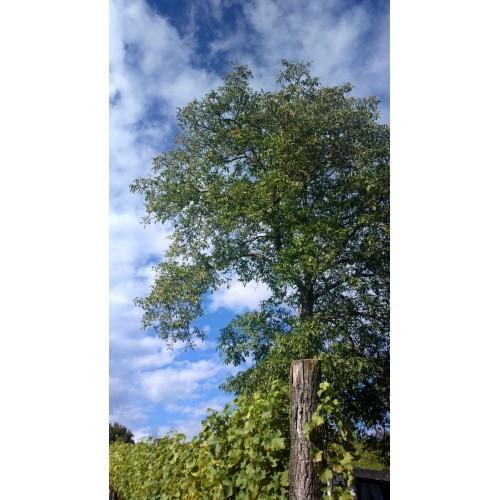 Bučno olje, konopljino olje, orehovo olje Prekmurje gallery photo no.8