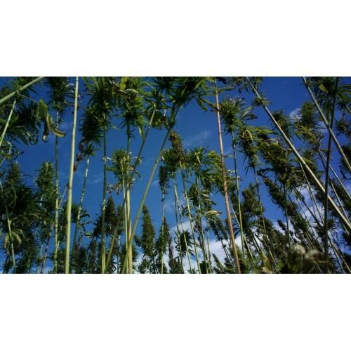 Bučno olje, konopljino olje, orehovo olje Prekmurje gallery photo no.15