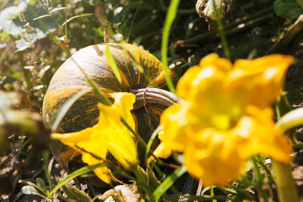 Domače bučno olje - Kmetija Camplin, Prekmurje gallery photo no.4