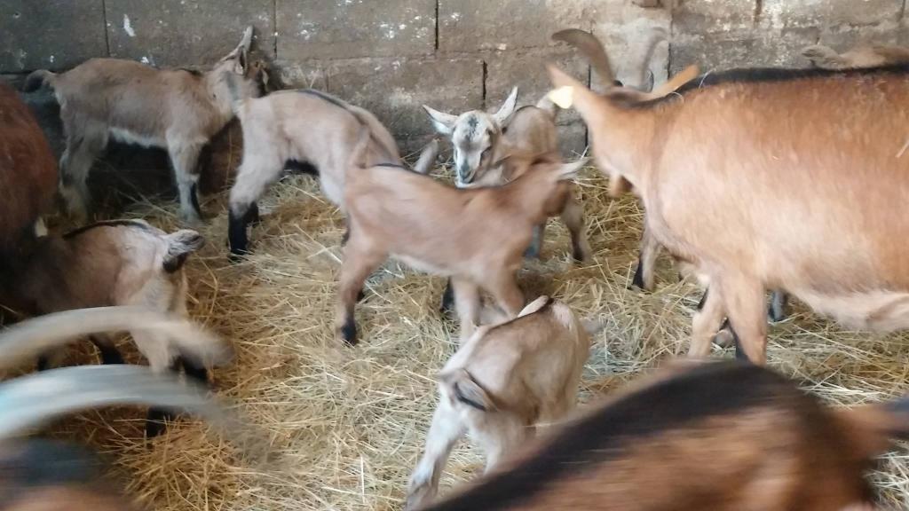Izdelki iz kozjega mleka, Kmetija Žerjal, Kras gallery photo no.5