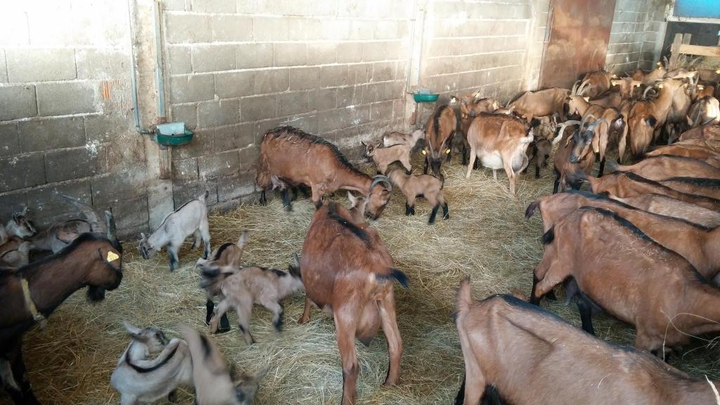 Izdelki iz kozjega mleka, Kmetija Žerjal, Kras gallery photo no.6