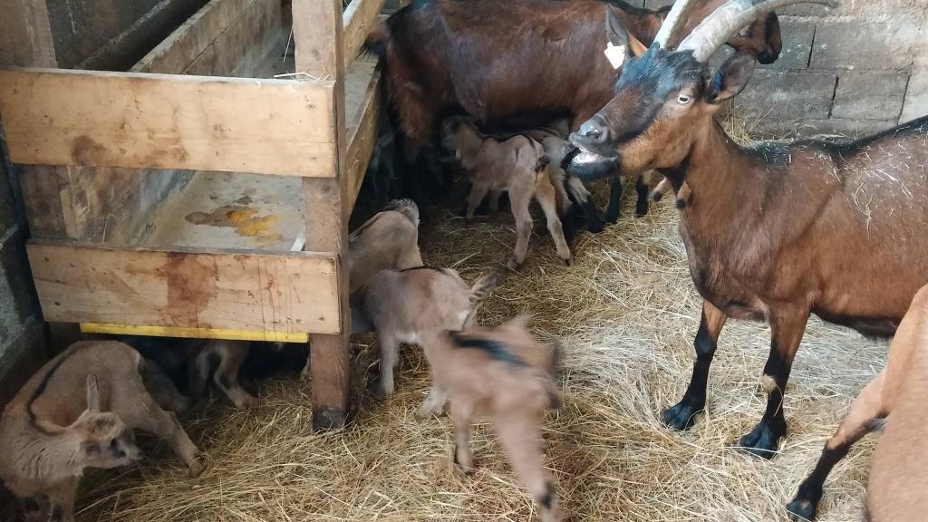 Izdelki iz kozjega mleka, Kmetija Žerjal, Kras gallery photo no.7