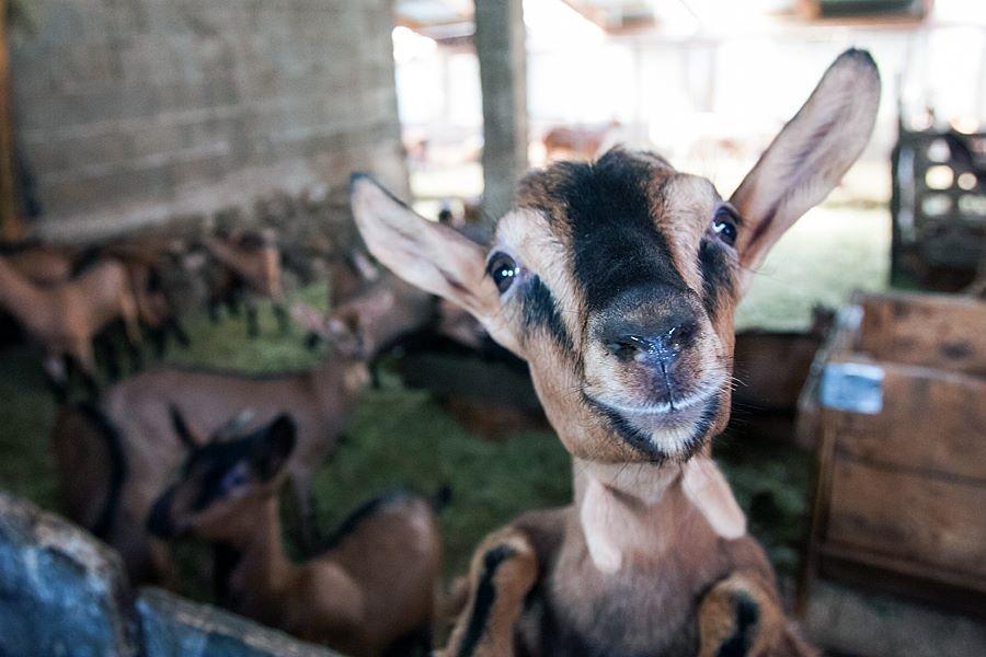 Izdelki iz kozjega mleka, Kmetija Žerjal, Kras gallery photo no.22