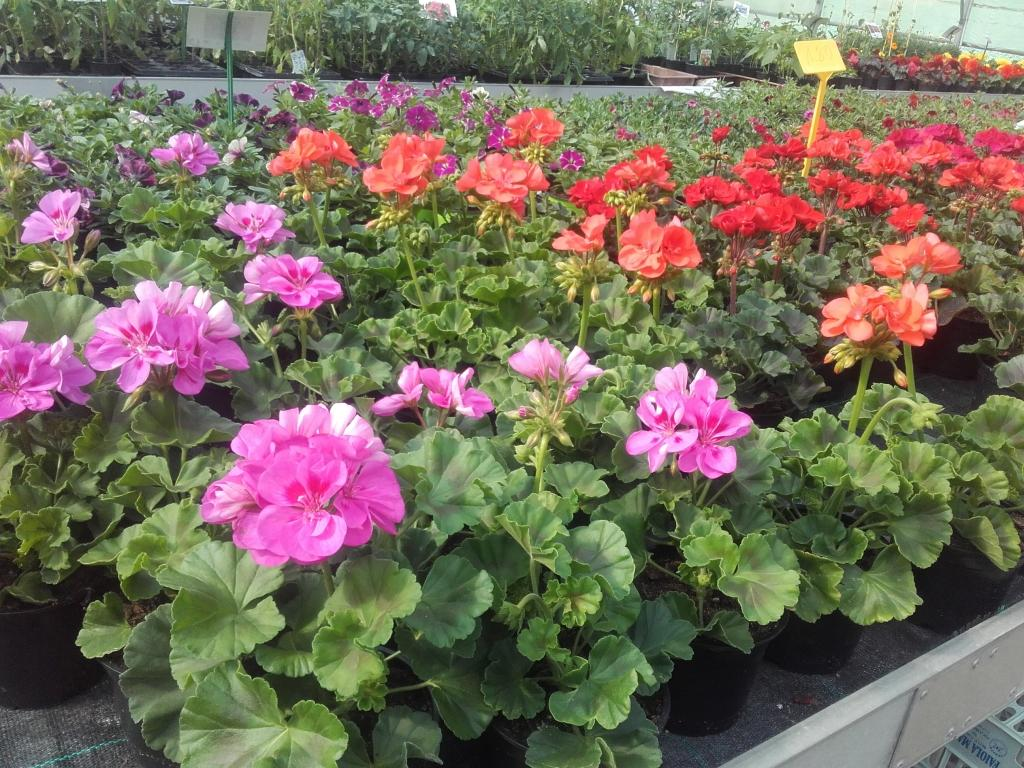 Prodaja rož, prodaja sadik, vrtnarstvo Vekjet, Maribor, Štajerska gallery photo no.0