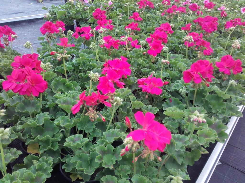 Prodaja rož, prodaja sadik, vrtnarstvo Vekjet, Maribor, Štajerska gallery photo no.3