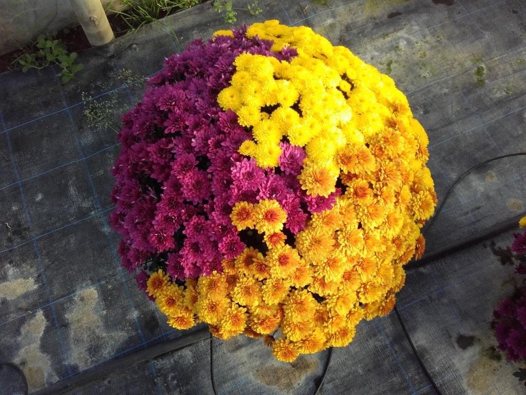 Prodaja rož, prodaja sadik, vrtnarstvo Vekjet, Maribor, Štajerska gallery photo no.15