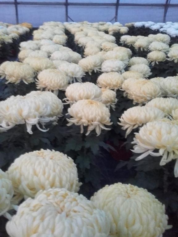 Prodaja rož, prodaja sadik, vrtnarstvo Vekjet, Maribor, Štajerska gallery photo no.16