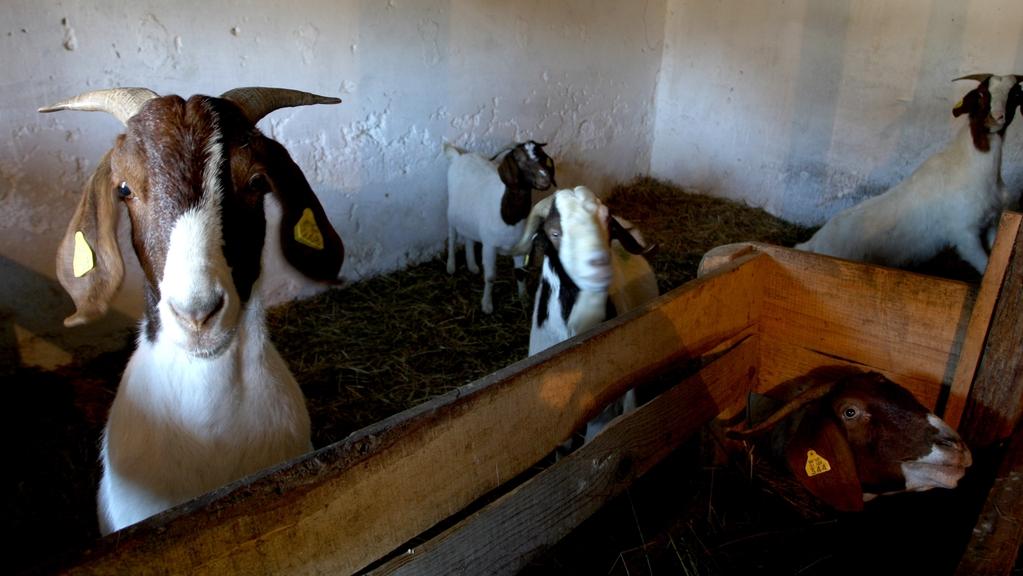 Reja plemenske živine - Kmetija Rajhenav, Kočevje gallery photo no.1