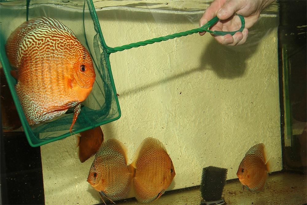 Ribe za akvarij - Diskus gojilnica, Škofja Loka gallery photo no.12