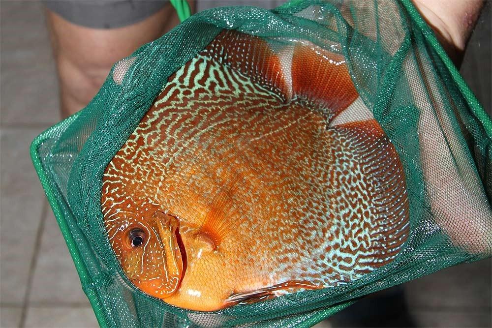 Ribe za akvarij - Diskus gojilnica, Škofja Loka gallery photo no.13