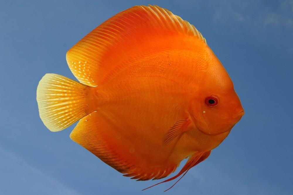 Ribe za akvarij - Diskus gojilnica, Škofja Loka gallery photo no.3