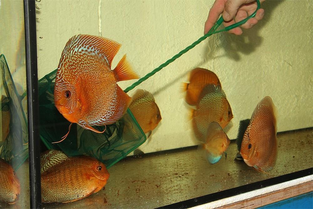 Ribe za akvarij - Diskus gojilnica, Škofja Loka gallery photo no.9