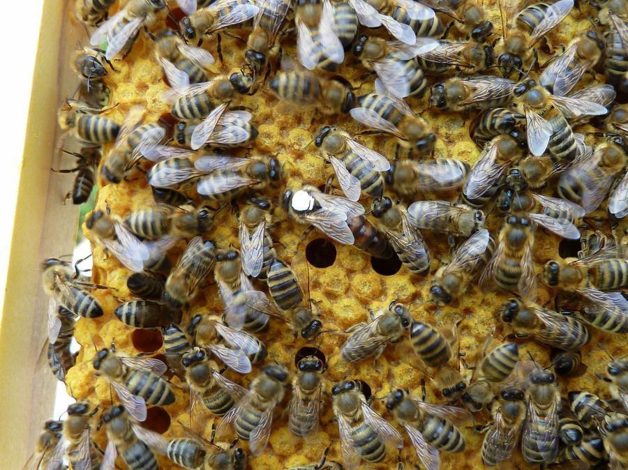 Čebelje družine - product image