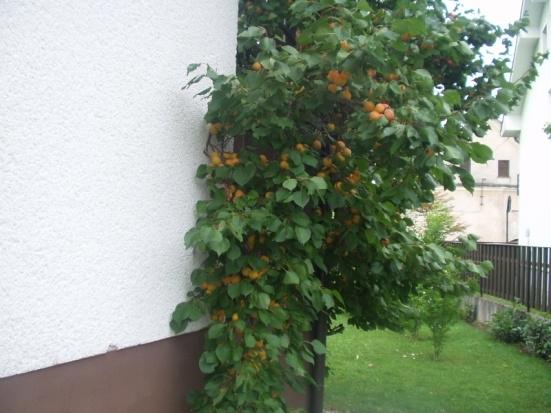Obrezovanje sadnega drevja - product image
