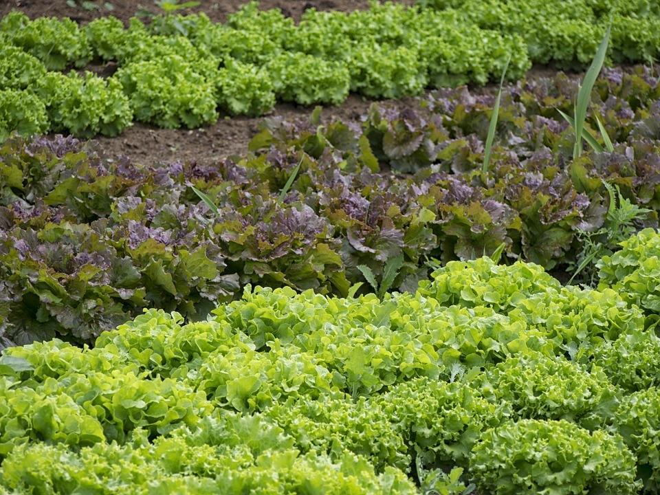 Sadike zelenjave - product image