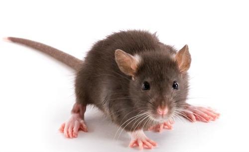 Deratizacija miši, podgan - product image