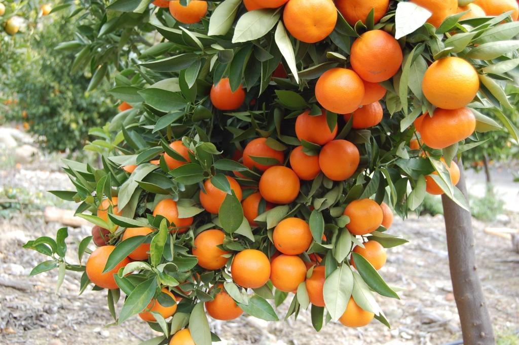 Pestra izbira sadik sadnih dreves - product image