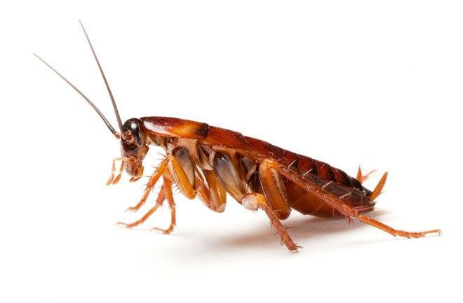 Dezinsekcija mrčesa, ščurkov, faraonskih mravelj - product image