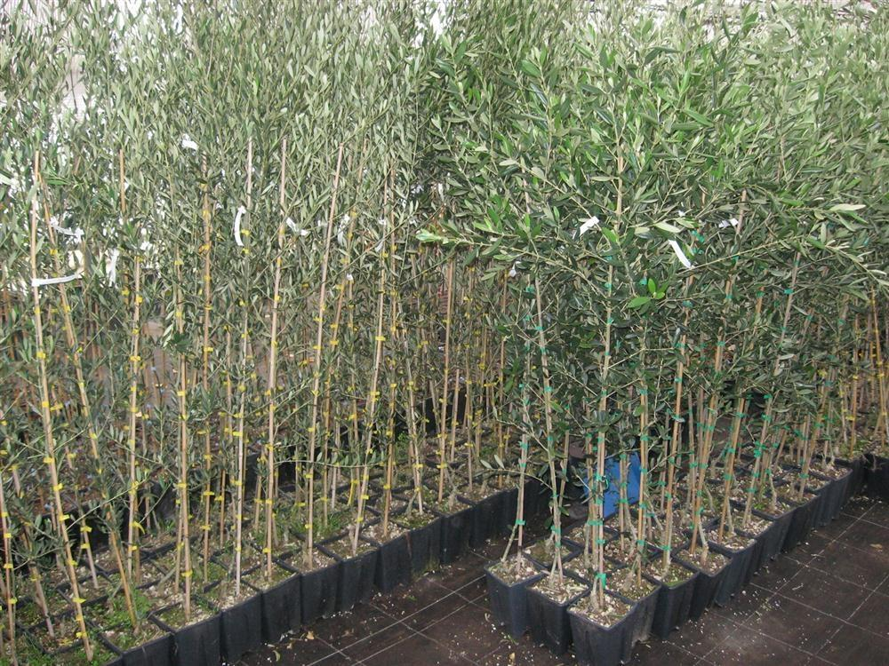 Prodaja drevja in grmovnic - product image